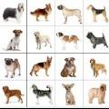 70x70 - QUIZ DOG BREEDS